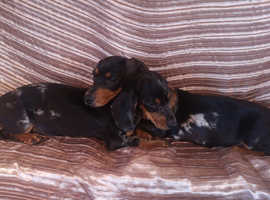 Two Miniature Dachshunds 4 months