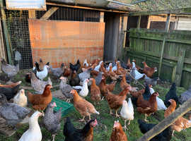 Various POL Pullets