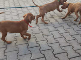 Hungarian Viszla puppies