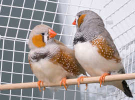 Selection of zebra finches are ready