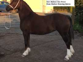 Budore Welsh Cobs- Mares for sale