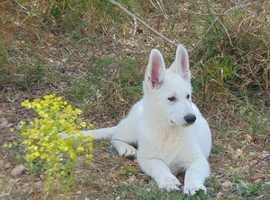 White Swiss Shepherd puppies available