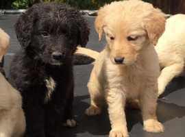 Labrador cross golden retriever puppies