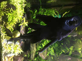 FREE V large black Plecostomus catfish