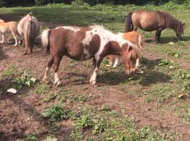Miniature Shetland pony mare