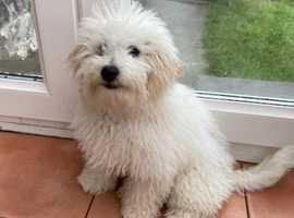 older very active bichon sx poodle