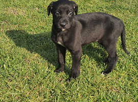 Bedlington X greyhound last pup