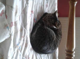 Small female Tabby Cat 17 months old.With everything she needs.