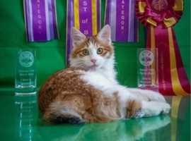 Waiting list for kittens is now open! Kurilian bobtail kittens