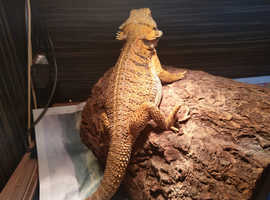 4ftx 2ft Vivarium with bearded dragons and all equipment