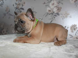 French Bulldog Pups Ready Now Kc Registered