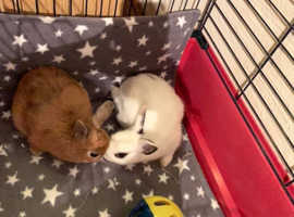 Female & male netherland dwarf rabbits
