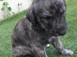 Beautiful salukie,deerhound,greyhound puppy