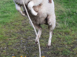 Registered Jacob Tup Lambs