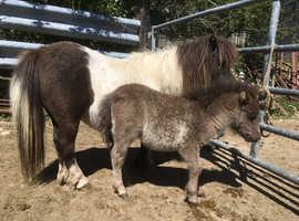 Buckskin Registered Miniature Shetland Filly Foal