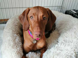 Lovely Hungarian Vizsla puppy