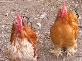 Pekin Cockerels / Roosters free