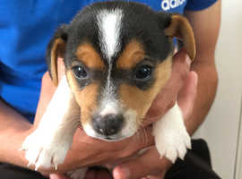 Lovely marked Jack Russell puppies