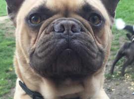 STUD DOG french bulldog