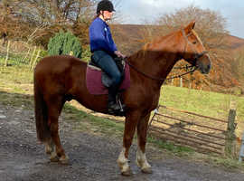 Upstanding Dutch Warmblood Gelding