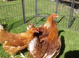 Warren point of lay hens
