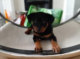 *last girl*Stunning Rottweiler Puppies