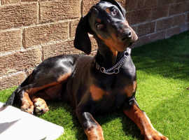 CHAMPION SIRED Doberman Male Puppy