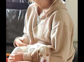 Lemon & white beagle puppy for sale