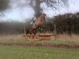 Stunning rising 5yrs 16.2hh liver chestnut mare