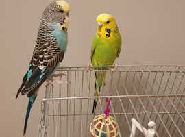 Two Budgies (male and female) for sale with cage