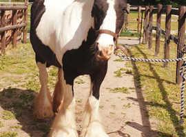 ***Pretty cob mare***