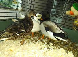 Pair of mallard call ducks