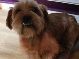 Shitzu Cross Yorkshire terrier 10 years old