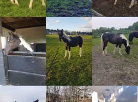 Irish sport horse gelding rising 3 year old