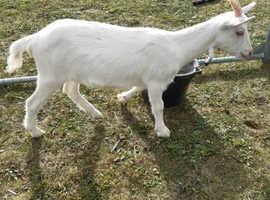 Goats 3 months old, sannen and sannen x