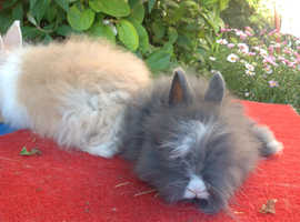 PURE BRED ENGLISH ANGORA X DOUBLE LION HEAD BABIES