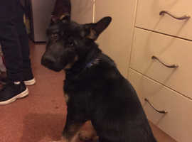 KC REGISTERED GERMAN SHEPHERD PUPPY