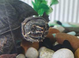 Musk turtle