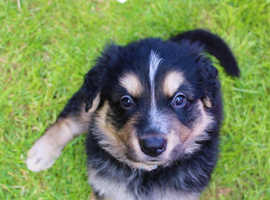 READY NOW Bernese mountain dog cross puppies
