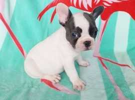 Healthy cute potty trained & vaccinated French Bulldog puppies