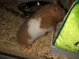 X2 Syrian hamsters (female) 8 months old