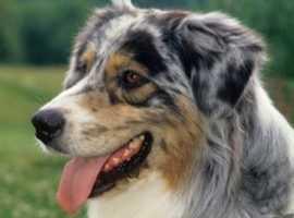 Looking for Australian Shepard Puppy