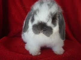 Adorable Pure Mini Lop Baby Rabbits