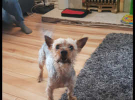 Yorkshire Terrier to good home