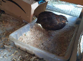 Male quail for rehome (free)
