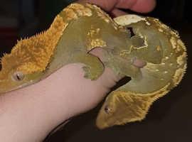 2x crested geckos