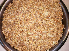 Organic wheat hen and chicken feed