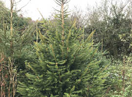 Christmas Trees, pick your own