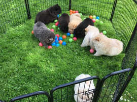 Mincs-dews beautiful chow chow puppies for sale with their health record.