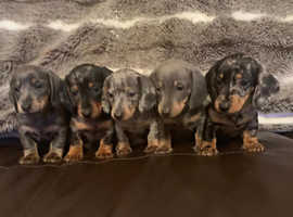Dachshund puppies Top Top quality